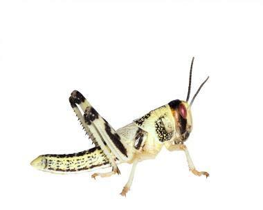Wüstenheuschrecken Heuschrecken Futterinsekten Reptilienfutter (mittel, 50 Stück)