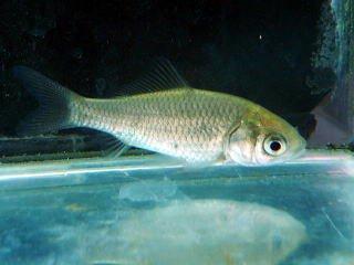 淡水魚 ギンブナ 川魚【こだわりの生体をお届けします 名生園】