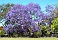 jacaranda, flamboyant bleu, arbre de fleurs bleues, 65 graines! Groco