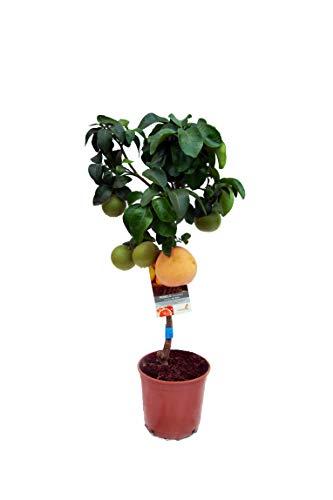 Obstpflanze von Botanicly – Pomelo – Höhe: 90 cm – Citrus Paradisi
