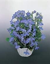 Lobelia Riviera Sky Blue 5,000 Seeds