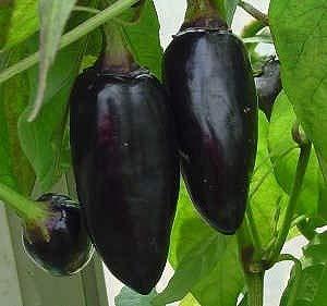 珍しい ハンガリー黒唐辛子 種 18粒