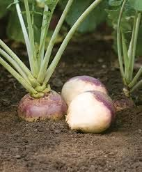 Elwyn Rutabaga Kaszubska - with Manufacturer direct delivery Low Soil New Free Shipping Requirements regarding