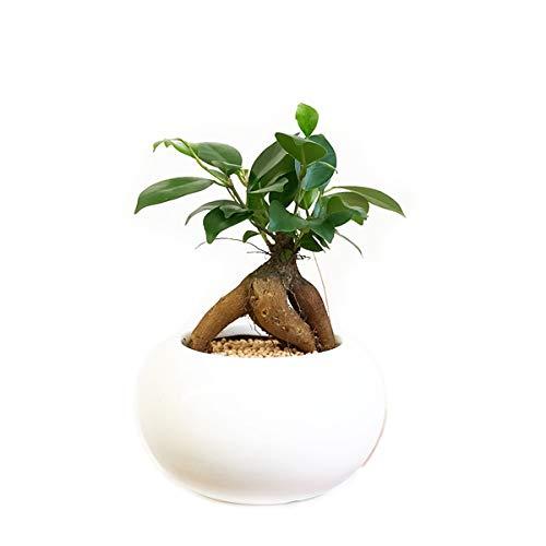 ガジュマル 丸型陶器鉢植え 卓上サイズ 観葉植物 本物 ガジュマルの木 多幸の木 インテリア ガジュマロ