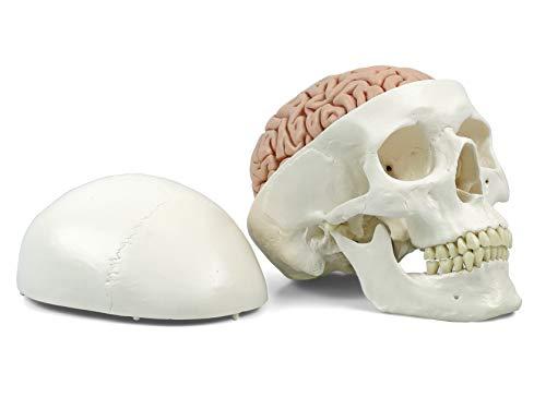 3B Scientific Menschliche Anatomie - A20/9 Klassik-Schädel mit Gehirn, 8-teilig + kostenloser Anatomiesoftware - 3B Smart Anatomy