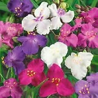 30+ Tradescantia Spiderwort Flower Seeds Mix/Perennial#alph0008
