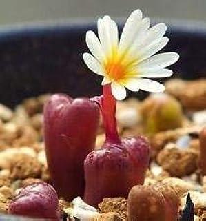 VISA STORE Conophytum Pelluci mesemb Raras peable ex/Ã/³tico Lig Piedras de semillas 100 semillas
