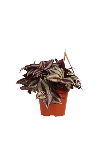 Zimmerpflanze von Botanicly – Dreimasterblume – Höhe: 20 cm – Tradescantia zebrina