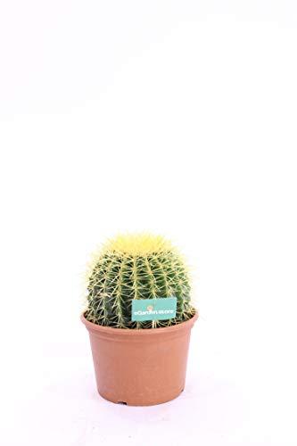pianta grassa vera di Echinocactus grusonii Grusone o cuscino della suocera v25