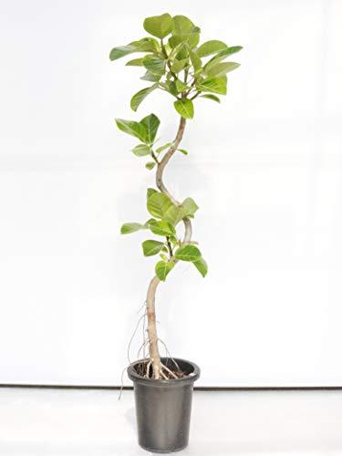 アルテシマ 通常鉢 8号 130㎝程度 【観葉植物】【室内向け】【沖縄観葉】