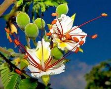 DELONIX Decaryi, flamboyán Flamboyant bonsai MUY RARO semillas de plantas 10 SEMILLAS