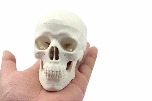 Mike-Dental Human Medical Anatomischer Kopf Knochen Schädel Knochen Mini Modell