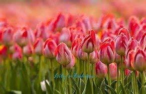 100pcs graines Tulip, Tulip agesneriana, aromatiques graines de fleurs des plantes en pot plus belles plantes de tulipes vivaces Garden 3