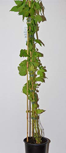 Hopfen, Humulus lupulus 60-100 cm hoch im 2 Liter Pflanzcontainer