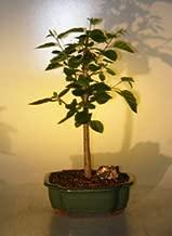 Bonsai Boy's Paper Birch Bonsai Tree betula papyrifera