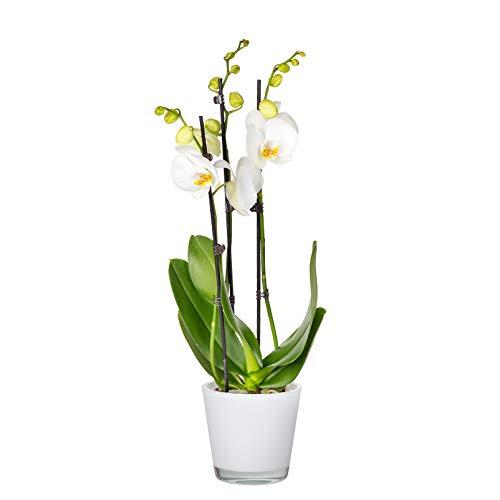 Pflanzen Kölle Schmetterlingsorchidee, inkl. Übertopf, 3 Rispen, weiß, Höhe ca. 60 cm