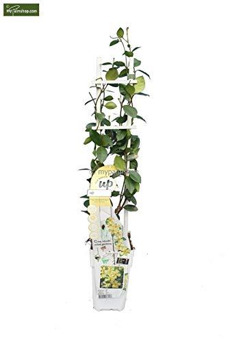 Sternjasmin - Trachelospermum jasminoides Star of Toscane - Gesamthöhe 70-90 cm - 2 Ltr Topf