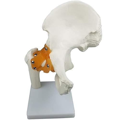 CUTICATE Anatomiemodell - Menschlichen Schulter-/ Fuß-/ Ellbogen-/ Hüft-/ Knie-/ Handgelenk Skelett Modell mit Bändern - Hüftgelenk
