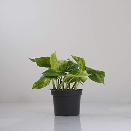 Indoor-Helden Epipremnum pinnatum \'Marble Queen\' - Efeutute rankende Zimmerpflanze luftreinigend