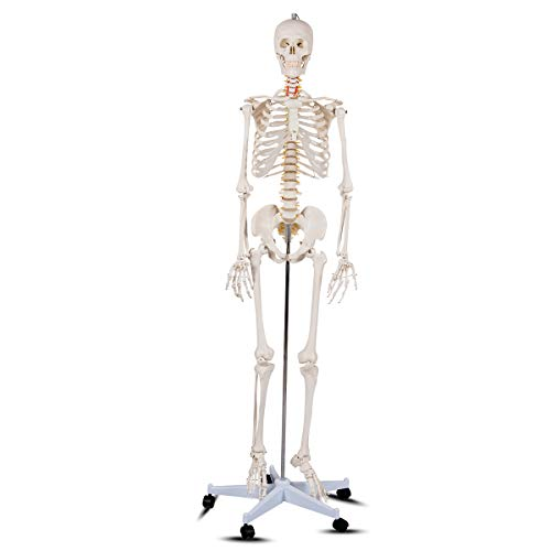 "Giantex 70.8"" Life Size Skeleton Model, with Roller Stand, 2 Casters with Brake, Removable Parts, Anatomical Poster and Dust Cover, Human Skeleton Model for Anatomy"