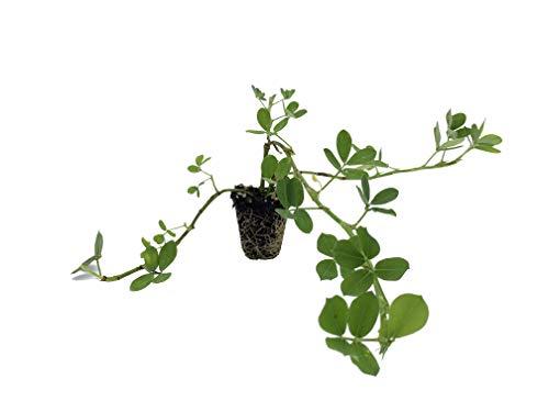 Ornamental Peanut Grass - Arachis Glabrata - 10 Live Plants - 2' Pot Size -...