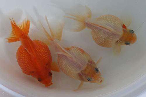 (国産金魚) 人気種! ピンポンパール 1匹 全長約10~12cm (生体0522-7)