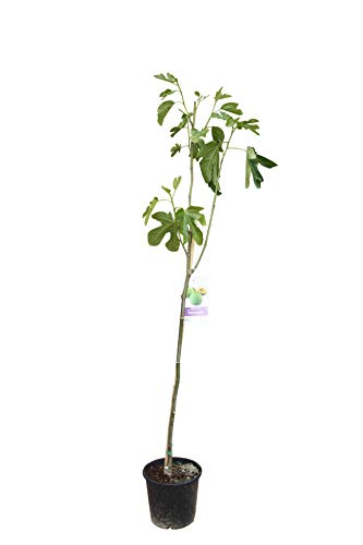 Ficus Carica - essbare Feige - Höhe: 150 cm - frosthart - feigenbaum