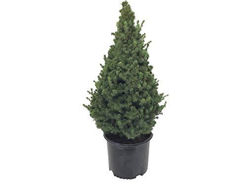 Premier Plant Solutions 01603 Picea Glauca Conica,...