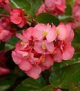 Details About Begonia Megawatt Rose Grn Leaf 100 Seeds Need More? Ask