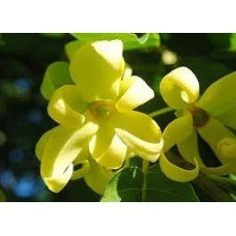 Ylang Ylang - 2680 - Premium Grade Fragrance Oil - Supply Concentrated - High Performance - 2 Oz (60 ml) - FREE Shipping
