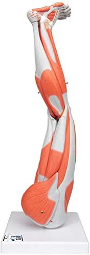 3B Scientific M20 Gamba con Muscoli, in 9 Parti + software gratuito di anatomia - 3B Smart Anatomy