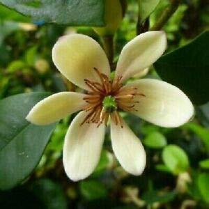 10 Pcs / Paquet de semences de vente chaud Aromatique Michelia Alba Fleur, Magnolia Bonsai Graine de plantes Parfum usine jardin