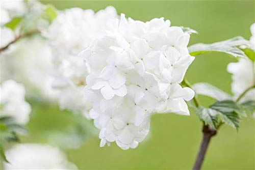 Japananischer Schneeball Viburnum plicatum 'Summer Snowflake' im Topf gewachsen ca. 30-40cm
