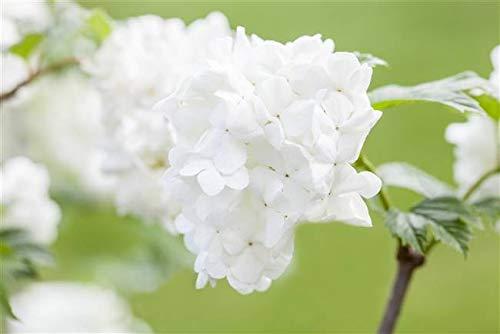Japananischer Schneeball Viburnum...