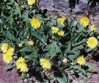 Habichtskraut 'Hieracium pilocella', Samen von Dragonspice Naturwaren