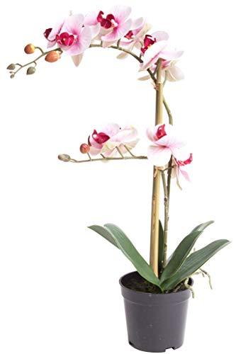 Nova-Nature künstliche Orchidee Bora (Orchideen Pflanze/Phalaenopsis) im schwarzen Kunststofftopf mit Rispen, Blättern und Luftwurzeln real Touch (Creme-pink, ca. 50 cm / 2 Rispen)