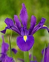 100 Bulbs : Bolly Bulbs - Dutch Iris - Blue Magic (100 Bulbs)