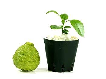 """Kaffir Lime Tree Starter Plant Citrus Hystrix Makrut Lime 2"""" - 4"""""""