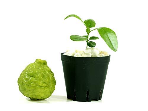 """Kaffir Lime Tree Starter Plant. Citrus Hystrix. Makrut Lime. 2.0"""" - 4.0"""""""