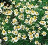 Heirloom Herb 4 years warranty Seeds German Chamomile 100 - Soldering