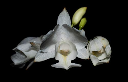 Orquídea Bletia catenulata alba