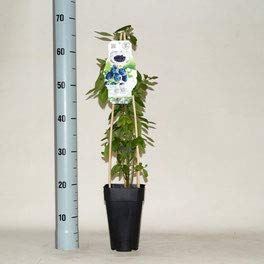 winterharte Heidelbeere (Blaubeeren) Pflanze, (Vaccinium corymbosum), Sorte: Berkeley, kräftige Pflanzen, ca. 55cm hoch, im 14cm Topf (3 Stück, ca. 55cm hoch, im 14cm Topf)