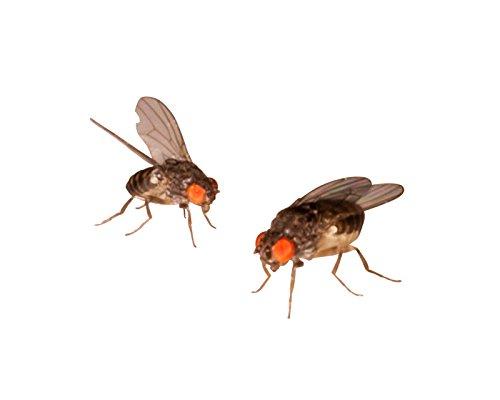 1 Dose Terfly, Krullfliegen Zuchtansatz 500ml praktisch verpackt, Futterinsekten Futtertiere 1L/6,98EUR