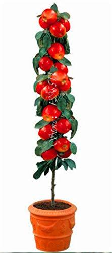 100 PC Semillas Bonsai Manzano rara fruta de árbol bonsai colorido jardín deliciosas semillas de manzana para los plantadores maceta