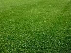 Perennial Rye Grass Seed - 1 Pound - Wizard Seed LLC