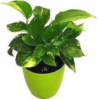 Live Money Plant with Green Plastic Pot