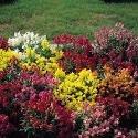 JustSeed - graines de fleurs Tapis magique de muflier M lange 5 g de graines de Vrac