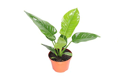 Philodendron Imperial Green - 8