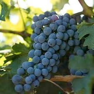 Cabernet Sauvignon Grape Wine Vines Potted Greenvine Red Burgundy (3)