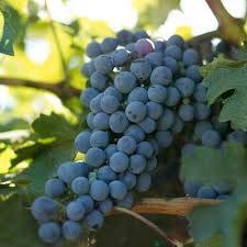 Grape Wine Vines Potted Greenvine - Cabernet Sauvignon Red Burgundy (2)